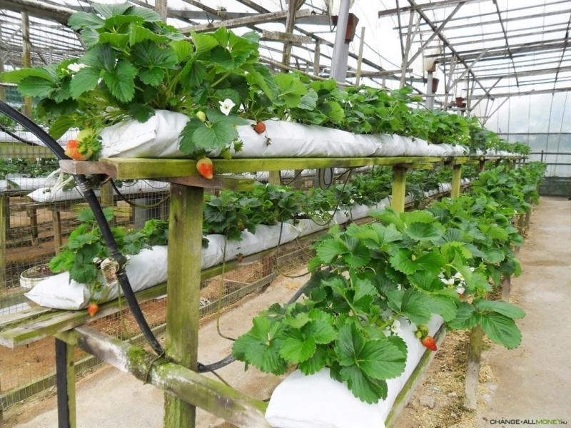 Заработок на выращивании клубники