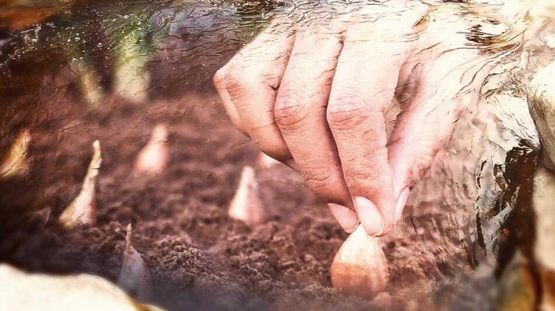 5 мая – Луковый день. Денежный ритуал.