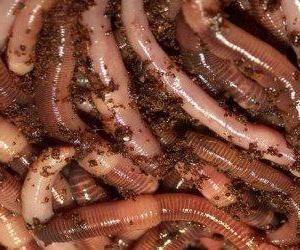 Dendrobena crv (Dendrobena Veneta): uzgoj, uzgoj